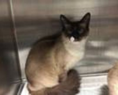 Adopt WHISKEY a Brown or Chocolate (Mostly) Siamese / Mixed (short coat) cat in