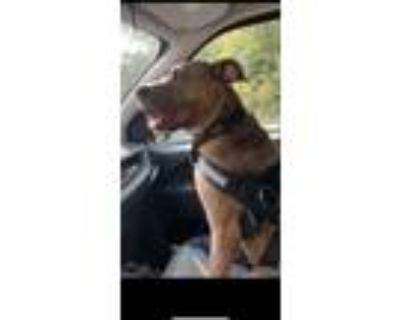 Adopt PEPPER a Brindle Pit Bull Terrier / Collie / Mixed dog in