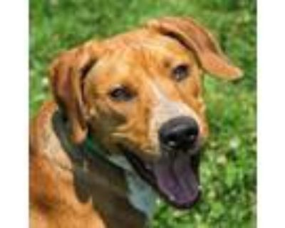 Adopt Chicken Noodle a Cattle Dog