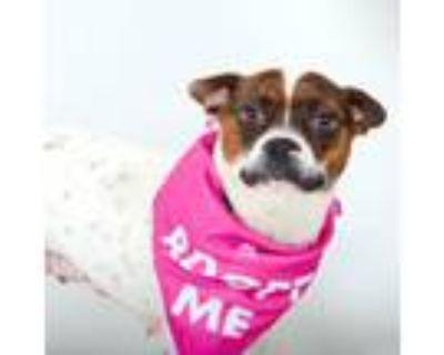 Adopt Cheryl a Rat Terrier, Beagle