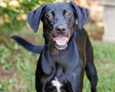 Evie 11108 - Retriever, Black Labrador/Mix - Adult Female