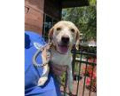 Adopt Bagel a Tan/Yellow/Fawn Beagle / Mixed dog in Newport News, VA (31622905)