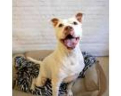 Adopt Champ a Pit Bull Terrier