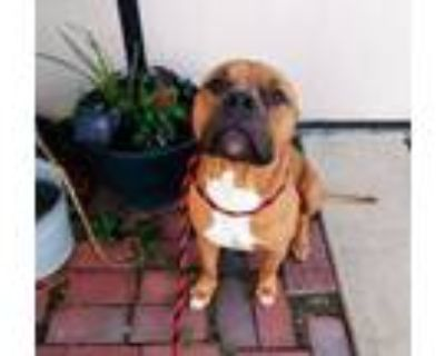 Adopt Linus a Pit Bull Terrier
