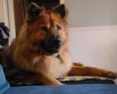 Adopt Robbie a Red/Golden/Orange/Chestnut Chow Chow / Mixed dog in Houston