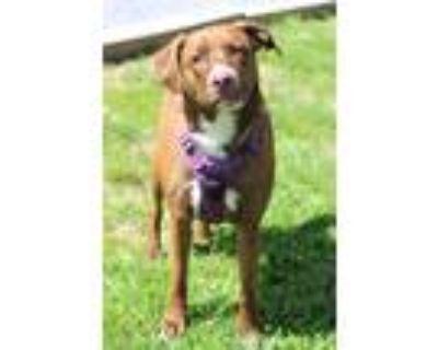 Adopt Dakota a Red/Golden/Orange/Chestnut - with White Labrador Retriever /
