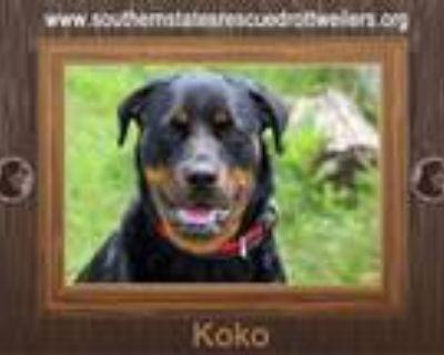 Adopt Koko a Rottweiler