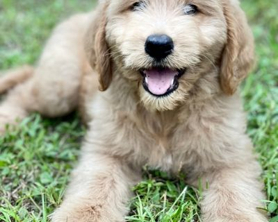 Goldendoodle Puppy for Sale - Biscuit