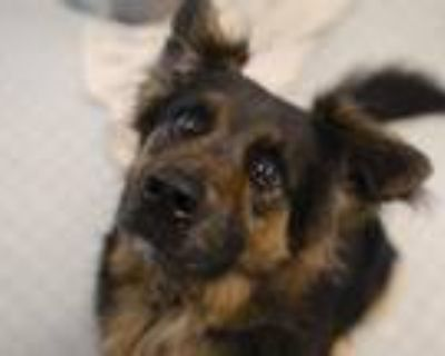 Adopt GRIZZLY a Black German Shepherd Dog / Mixed dog in Denver, CO (31610231)