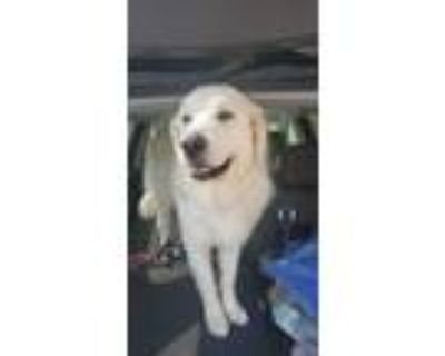 Adopt Beauty a Red/Golden/Orange/Chestnut Great Pyrenees / Mixed dog in