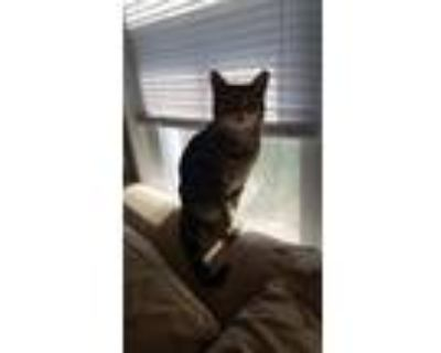 Adopt Bella a Black (Mostly) American Shorthair / Mixed cat in Milwaukee
