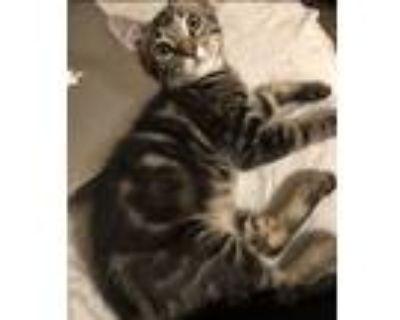 Adopt Memphis a Gray, Blue or Silver Tabby Domestic Mediumhair (medium coat) cat