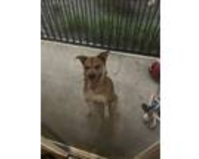 Adopt Maggy a Tricolor (Tan/Brown & Black & White) Chow Chow / German Shepherd