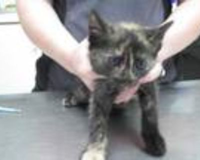 Adopt Gizelle a All Black Domestic Shorthair / Domestic Shorthair / Mixed cat in