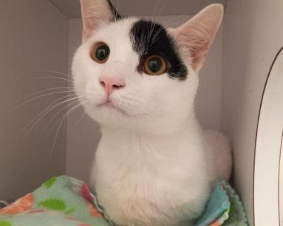 Male Domestic Short Hair named Terry available for adoption