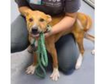 Adopt Riley a Brown/Chocolate Hound (Unknown Type) / Mixed dog in Sarasota