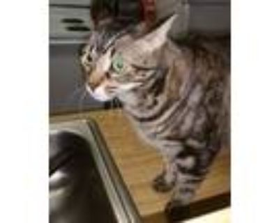 Adopt Keno AKA (Beans) a Brown or Chocolate American Shorthair / Mixed cat in