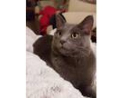 Adopt Elwood a Gray or Blue Russian Blue / Mixed (short coat) cat in Xenia