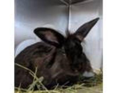 Adopt ELENA a Bunny Rabbit