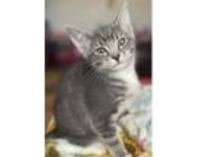Adopt Socks a Gray or Blue (Mostly) American Shorthair / Mixed (short coat) cat
