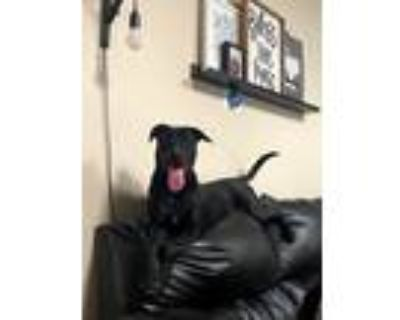 Adopt Athena a Black American Staffordshire Terrier / Weimaraner / Mixed dog in