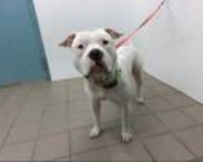 Adopt CHAINZ a White American Pit Bull Terrier / Mixed dog in Albuquerque