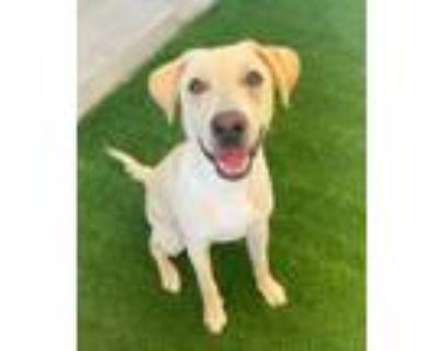 Adopt Kane a Yellow Labrador Retriever