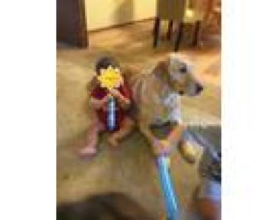Adopt Gus a Tan/Yellow/Fawn Labrador Retriever / Mixed dog in Ripon