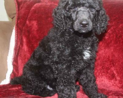 Standard Poodle Puppies Ethically Bred