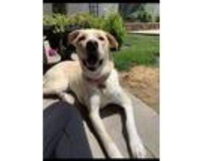 Adopt Sadie a Labrador Retriever, Great Pyrenees