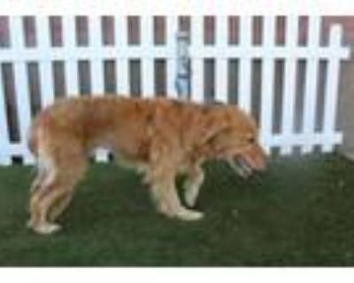 Adopt A554640 a Golden Retriever, Mixed Breed