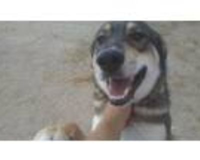 Adopt Riley a Brown/Chocolate - with Tan German Shepherd Dog / Doberman Pinscher