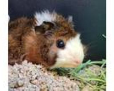 Adopt Rosie Roo a Guinea Pig small animal in Golden, CO (32029235)