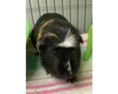 Adopt Khloe a Guinea Pig