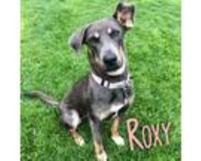 Adopt Roxy a Black - with Tan, Yellow or Fawn Doberman Pinscher / Mixed Breed