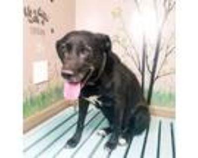 Adopt DELILAH a Labrador Retriever
