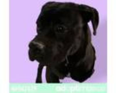 Adopt 46942439 a Boxer, Pit Bull Terrier