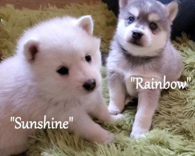 $1900 Mini Husky/Eskimo Puppies