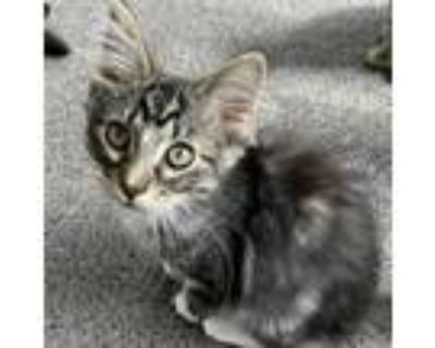 Adopt Glacier a Brown or Chocolate Domestic Longhair / Mixed cat in Tecumseh