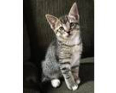 Adopt Chip 05-4232 a Gray, Blue or Silver Tabby Domestic Mediumhair / Mixed cat