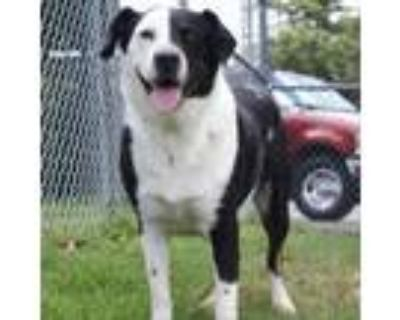 Adopt Diesel a Black Border Collie / Mixed Breed (Large) / Mixed dog in