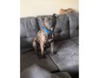 Adopt Bruno a Brindle American Pit Bull Terrier / Mixed dog in Fairborn