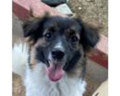 Adopt Steve Rogers a Tricolor (Tan/Brown & Black & White) Jindo / Border Collie