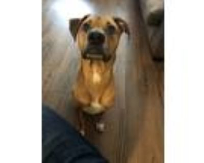 Adopt Scooby a Brown/Chocolate - with White Labrador Retriever / American Pit