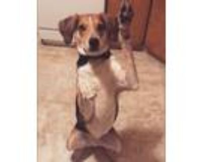 Adopt Charlie a Tricolor (Tan/Brown & Black & White) Hound (Unknown Type) /