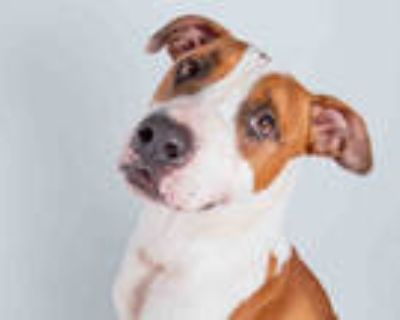 Adopt KUDOS a Brown/Chocolate - with White American Pit Bull Terrier / Boxer /