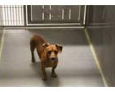 Adopt *OSCAR a Red/Golden/Orange/Chestnut Dachshund / Mixed dog in Modesto