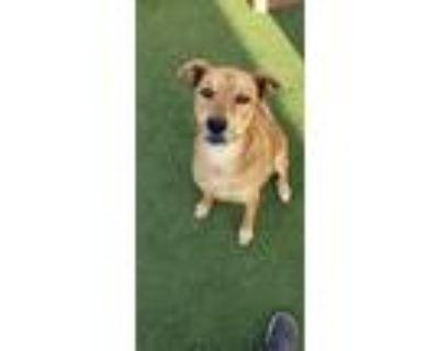 Adopt Aries a Tan/Yellow/Fawn - with Black German Shepherd Dog / Mixed dog in