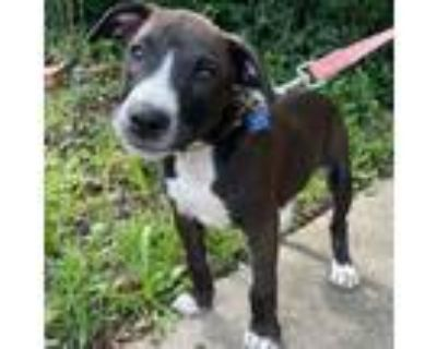 Adopt Harry a Border Collie, Pit Bull Terrier