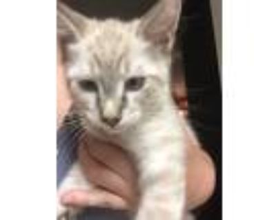 Adopt 2 kittens for adoption a White (Mostly) Domestic Shorthair / Mixed (short